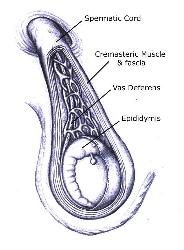 A diagram of the spermatic cord